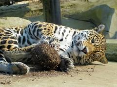 Simara (Raymonde Contensous) Tags: france jaguars simara zoodevincennes félins parczoologiquedeparis
