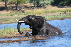 Chobe National Park, Botswana (MJR96) Tags: africa wild water grass wildlife safari botswana