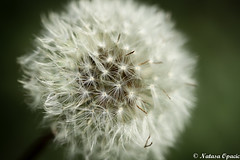 Make A Wish (_Natasa_) Tags: white flower detail macro green art nature closeup canon dof bokeh dandelion wish fragile canoneos7d canonef100mmf28lmacroisusm natasaopacic natasaopacicphotography