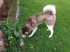 Frodo sniffing (Fan-T) Tags: dog puppy husky siberian frodo