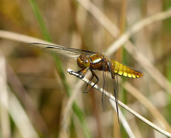Broad-Bodied Chaser (Zana Benson) Tags: smallhytheplace fourspottedchaser