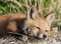 A Tired Little Fox (rivadock4) Tags: red birding trail fox bombay kit delaware hook redfox nwr bombayhooknwr delawarebirdingtrail
