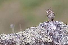 Rock Sparrow (judd.furlong) Tags: