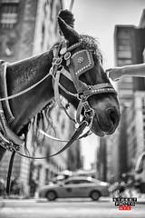 gentle touch (Street Photo NYC) Tags: street city nyc blackandwhite bw horse ny newyork streets monochrome blackwhite nikon centralpark manhattan streetphoto d600