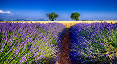 Duo....... (Malain17) Tags: sky france colors composition wow landscape photography flickr pentax perspective photographers arbres provence paysage lavande bls sillons