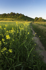 Summer Evening In The Countryside (Taras L) Tags: road flowers blue sunset summer sky sun plant flower tree green nature field grass yellow clouds rural forest season landscape evening countryside spring energy natural outdoor earth path background horizon country harvest meadow ground bio farmland rape rye foliage oil land environment agriculture raps fuel canola rapeseed cultivated