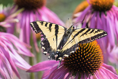 Western Tiger Swallowtail (Papilio rutulus) (Tony Varela Photography) Tags: butterfly tonyvarelaphotography papiliorutulus coneflower echinacea westerntigerswallowtail