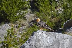 Quebrantahuesos (Gypaetus barbatus) (Benito Jos Castellano Snchez) Tags: quebrantahuesos beardedvulture lammergeier gypaetusbarbatus