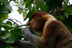 Proboscis Monkey, Bako National Park, Day 3, Sarawak, Malaysia (ARNAUD_Z_VOYAGE) Tags: bako national park sarawak malaysia island borneo eastern monkey beach landscape sea muara tebas peninsula kuching rivers wildlife nature jungle streams waterfalls secluded beaches trekking trails proboscis sunset amazing bird