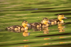 Three Little Ducklings In Central Park, New York City (Czermak Photography) Tags: usa america nyc newyork duck animal bird pond water colours green yellow brown centralpark park duckling city 100v10f
