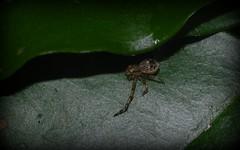 Australomisidia sp. nova (dustaway) Tags: nature rainforest australia nsw arthropoda crabspider rotarypark arachnida lismore araneae araneomorphae thomisidae australianspiders northernrivers spideronleaf thomisinae australomisidia