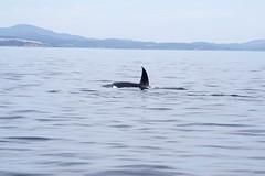 fourhourtour porttownsend pugetsoundexpress redhead killerwhale orca transientorcas whalewatchingtour