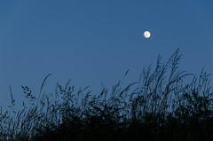 noche de luna llena (inma F) Tags: arzua caminodesantiago cielo contraluz espaa espiga galicia horaazul luna viajes