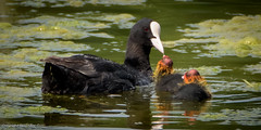 A Mother's Love (Baljinder.Gill) Tags: coot coots feeding feedingbird birdsfeeding animalsfeeding birds birdphotography wildlife wildlifephotography wildlifenature wildbirds nikon nature naturephotography naturewildlife animalphotography animals outdoorphotography outdoor feedingyoung
