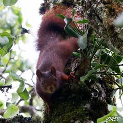 cureuil-6425 (Les Hobbys de Cawol) Tags: red nature squirrel roux cureuil