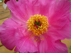 another macro (VERUSHKA4) Tags: petal peony canon europe russia moscow city botanic garden pistil stamen nature red summer june album flora photography macro yellow vue view