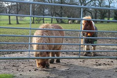 How Goes the Tunnel (meniscuslens) Tags: horse trust buckinghamshire pony shetland