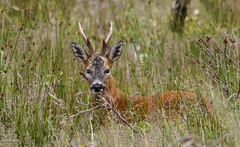 Roe Deer-8485 (AnnieG Troon) Tags: roedeer shewalton swt
