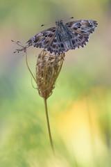 Carcharodus alceae (Raffaella Coreggioli ( fioregiallo)) Tags: nikon natura farfalle fotografia fioregiallo flora fiore foglia macro insetti