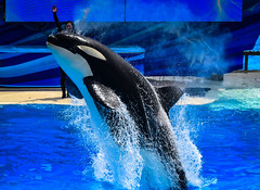 Orca Killer Whale at Shamu Stadium at SeaWorld San Diego CA (mbell1975) Tags: sandiego california unitedstates us orca killer whale shamu stadium seaworld san diego ca orcas whales killerwhale cal calif usa american america animal park parc zoo water pool sea world