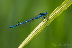 june2016-8 (chrisbutton68) Tags: blue coenagrionmercuriale damselfly dragonflies dragonfly horizontal keyworded perched southerndamselfly wildlife workinprogress
