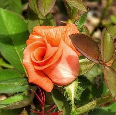 Beautiful Orange Rosebud (AngelVibePhotography) Tags: roses rosebud blossoms garden macro blossom flower photography nikon nikonp900 closeup flowers nature northcarolina rose outdoor plant orange