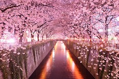 Travel-Sakura Tunnel (raiditem) Tags: travel beautiful nature sakuratunnel landscape colorful lake tree road pink flowers