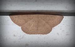 shade seeker (dustaway) Tags: arthropoda insecta lepidoptera geometridae sterrhinae australianmoths australianinsects lismore northernrivers nsw nature