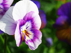 another viola (mark.griffin52) Tags: olympusem5 england buckinghamshire cheddington garden flower viola