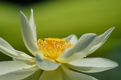 () /Nelumbo nucifera  (nobuflickr) Tags: 20160720dsc04654   nelumbonucifera  sacredwaterlotus japan flower kyoto the botanical garden nature    awesomeblossoms