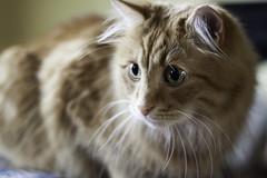 Clem Thursday: Clemness (Photo Amy) Tags: adorable aminal canon50d cat cuddly cute cuteness ef50mm18 eartufts feline fluffy fur furry ginger kitten longhair longhaired orange pet precious red tabby toefur whisker whiskers