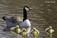 canada goose (branta canadensis) (Colin Pacitti) Tags: canadagoose brantacanadensis goose gosling aquaticbird wildbird bird animal outdoor abernantlake llanwrtydwells midwales wales eiap coth fantasticwildlife ngc birdperfect hennysanimals coth5 npc sunrays5