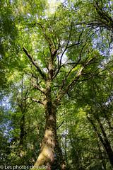Grandeur Nature (juliemilloux) Tags: fort arbre tree forest nature wildlife sauvage grandeur
