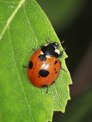 Scarce 7 Spot Ladybird (Prank F) Tags: harlestoneheath wildlifetrust harlestone northantsuk wildlife nature insect macro closeup beetle ladybird ladybug scarce 7spot coccinellamagnifica