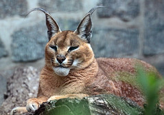 caracal Berlin Tierpark JN6A9560 (j.a.kok) Tags: berlijn berlin tierpark lynx woestijnlynx caracal
