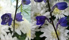 Blue Delphinium  Blauer Rittersporn (eagle1effi) Tags: collage flower delphinium rittersporn s5 macro blue blauer blau