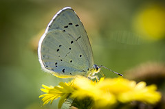 Holly Blue (thegrolffalo) Tags: butterfly nature insect nikon d7200 110mm lens hollyblue macro