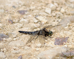 (lisacartwheels21) Tags: dragonfly wildlife nature insects rutland outdoor