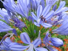 Au jardin, au cur de l'agapanthe, Bosdarros, Barn, Pyrnes Atlantiques, Aquitaine, France. (byb64) Tags: bosdarros barn biarn bearno pyrnesatlantiques pirinioatlantikoak pirineosatlnticos aquitaine aquitania akitania aquitanien france francia frankreich eu europe europa ue fleur flower flor flowers fiori fior 64 jardin garden giardino garten t verano estate sommer summer agapanthe agapanthus schmucklilien bleu blue blu azul