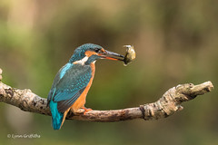 Kingfisher (Alcedo atthis) D50_3574.jpg (Mobile Lynn) Tags: people birds wild petewhieldon kingfisher nature aves bird chordata coraciiformes face faces fauna wildlife otterbourne england unitedkingdom gb coth specanimal ngc npc coth5 sunrays5