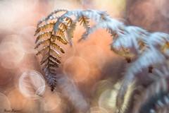 Otoo (sergio estevez) Tags: otoo bokeh color desenfoque helecho luz naturaleza macro pinardelrey meyeroptik diaplan sergioestevez