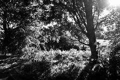 Komorebi (bethanyhall2) Tags: kitlens komorebi sun leaves tree white black 700d canon