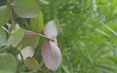 Coloured (SH.master) Tags: leaf leaves nature green garden closeup macro dof pink pattern stilllife
