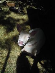 DSCN8413 (Clerss Malisha) Tags: fattoria farm daino capriolo deer animali animale animals animal ungulati oche gatto cat dog cane mucche cows cow mucca oca capre sheep pecora cute tenero adorable wonderful sympathic