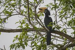 Clao Cariblanco (ik_kil) Tags: claocariblanco orientalpiedhornbill anthracocerosalbirostris kaziranganationalpark kaziranga hornbill birdsofindia birds assam india
