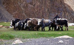 Herding The Family Yaks Murghob Pamir Highway Tajikistan Central Asia (eriagn) Tags: asia centralasia tajikistan murghab pamir mountainous mountains semiarid highaltitude herding herd yaks family nomads seminomadic livestock road dirtroad 4wd horse bicycle geofgraphy geology grass river eriagn ngairelawson ngairehart travel photography murghob summer overtheexcellence