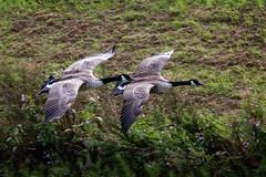 Flying in close formation EXPLORE 1/10/2016 (stevehimages) Tags: steveh stevehimages steve higgins grandpas den wowzers warden west midlands 2016 sandwell valley rspb flying explore