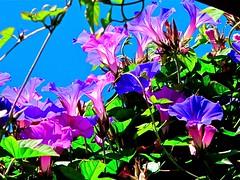 backyard morning glories = Explore (Demetrios Lyras) Tags: flowers blue sky green backyard angle fav50 violet bluesky soma morningglory sfist fav10 fav5 fav25 fav100 fav150 sanfranciscocausa inexplore fav75 anglesanglesangles fav125