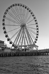 Great Wheel and Barrow's Goldeneye (Shore Birder) Tags: seattle waterfront ferriswheel waterfrontpark barrowsgoldeneye bucephalaislandica pier57 greatwheel canon450d canonxsi
