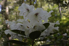R aberconwayii  Wind (David A's Photos) Tags: flowers bc wind columbia convention british ars sidney rhododendrons 2015 rhodies may2015 aberconwayii